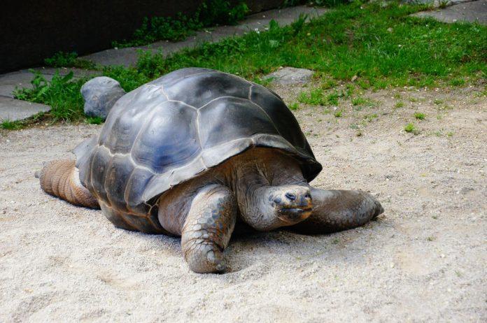 Χελώνα άνθρωπος που χρονολογείται